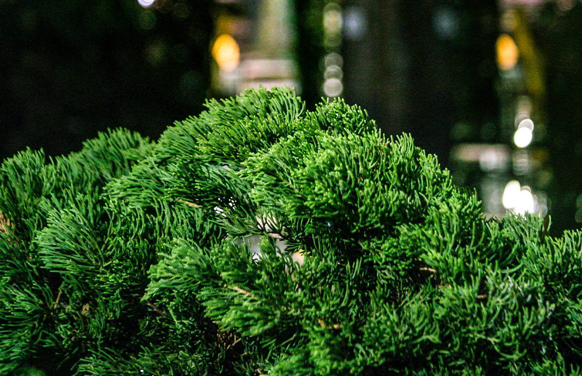 A How-To Guide for Evergreen Content - Evergreen branches that will always stay green and fresh like good evergreen content